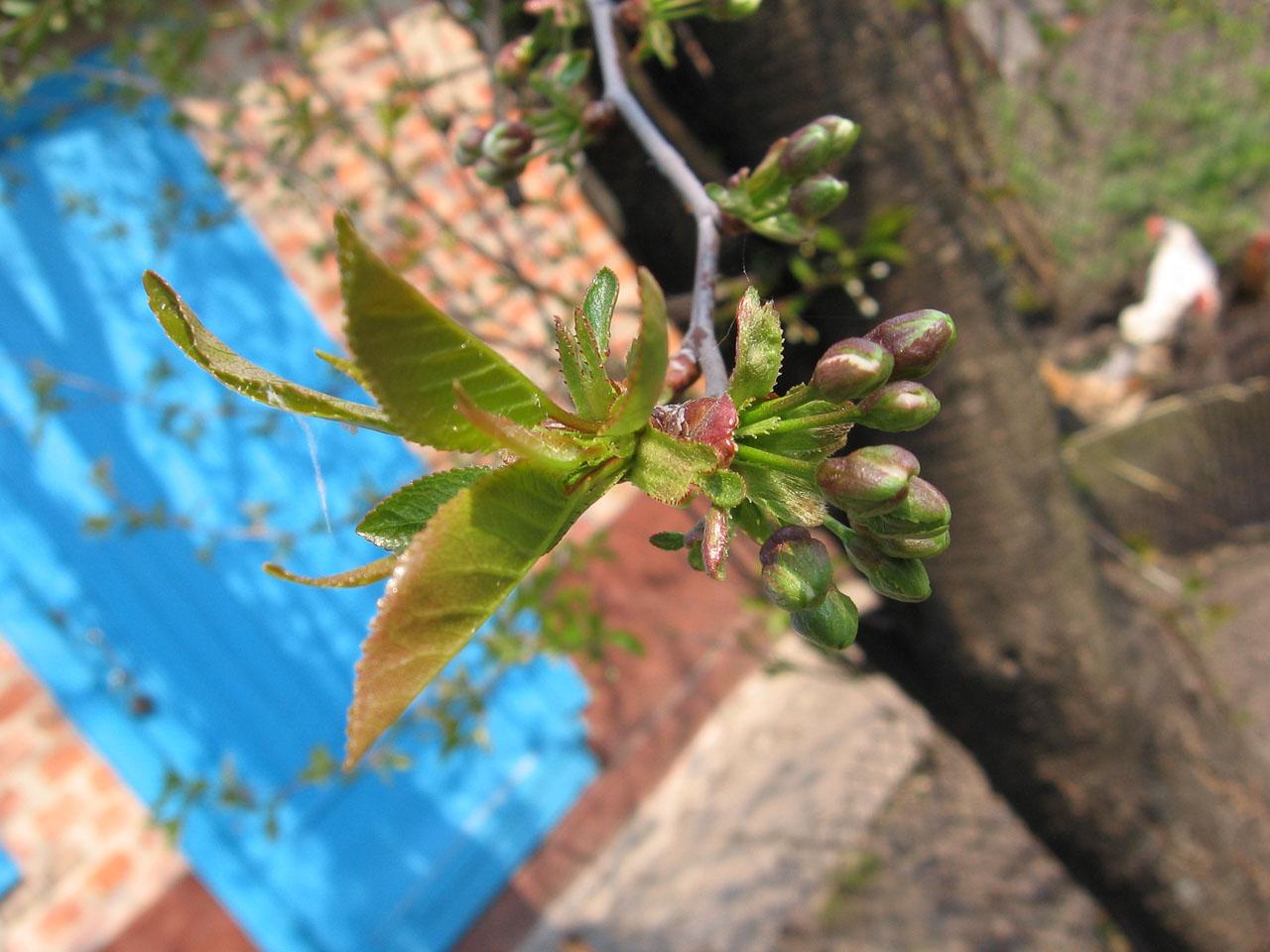 Цвіт вишні