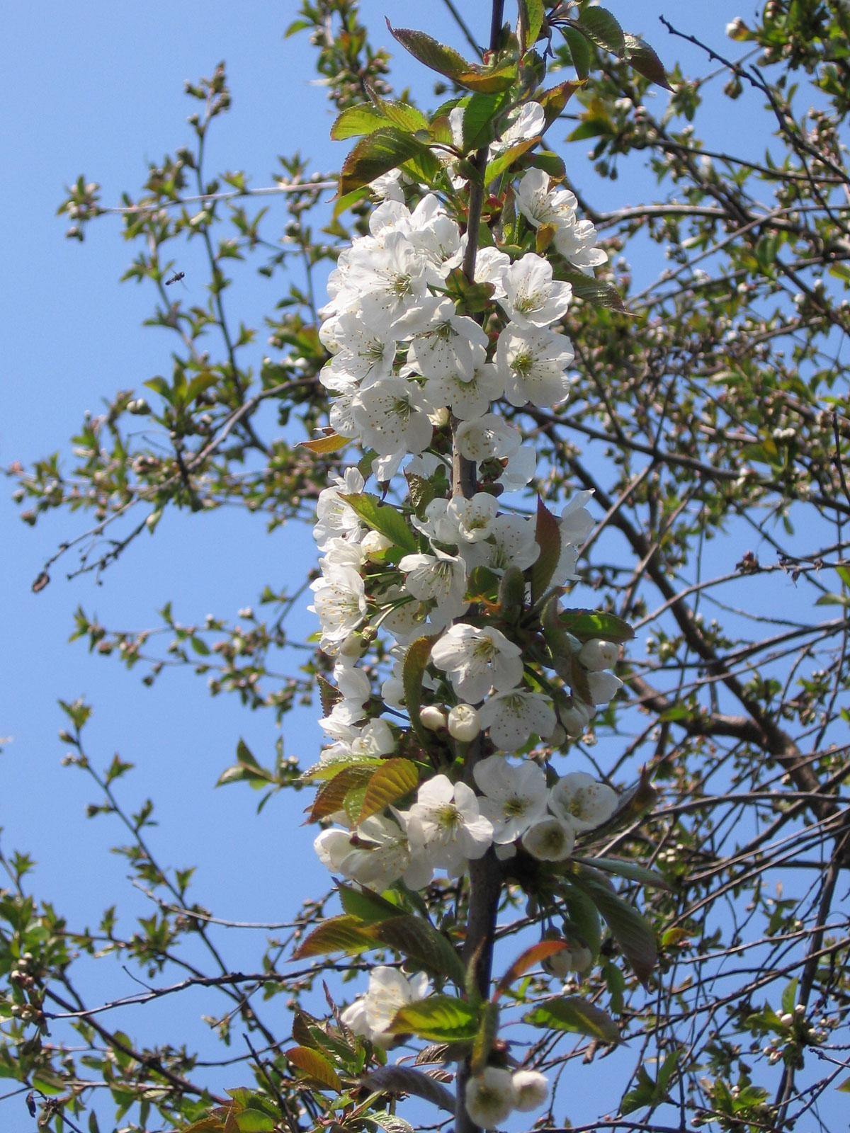 Черешня квітне