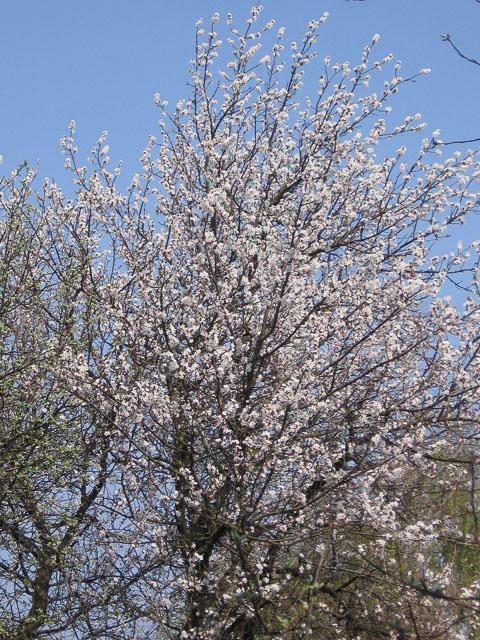 Абрикоса квітне