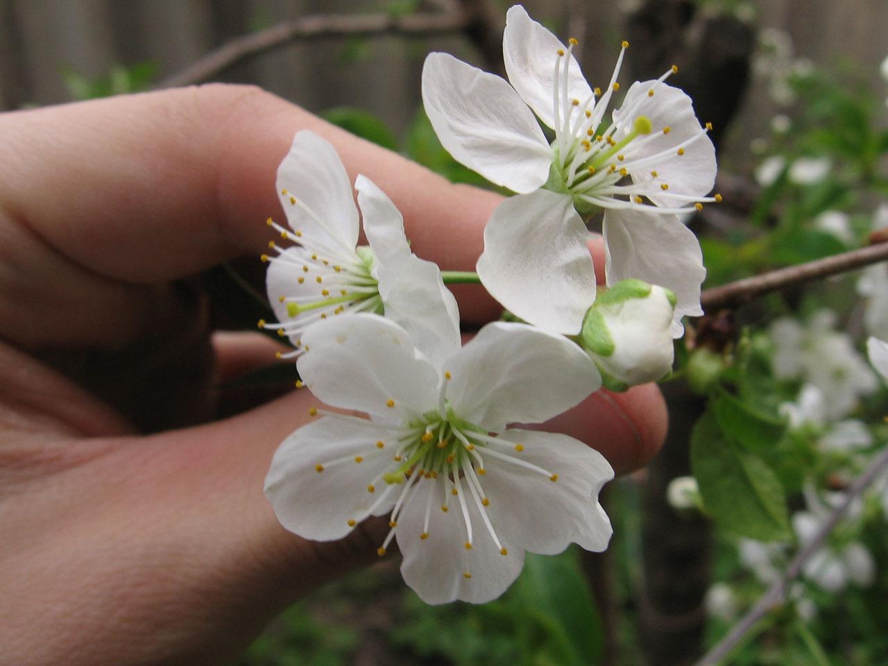 Квіт вишні