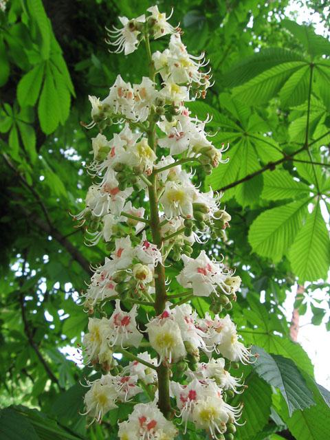 Цвіт каштану