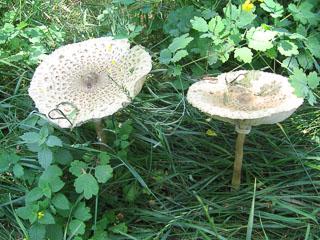 Мега-гриби