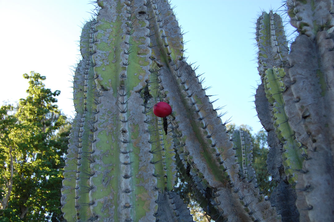 Квітка кактуса