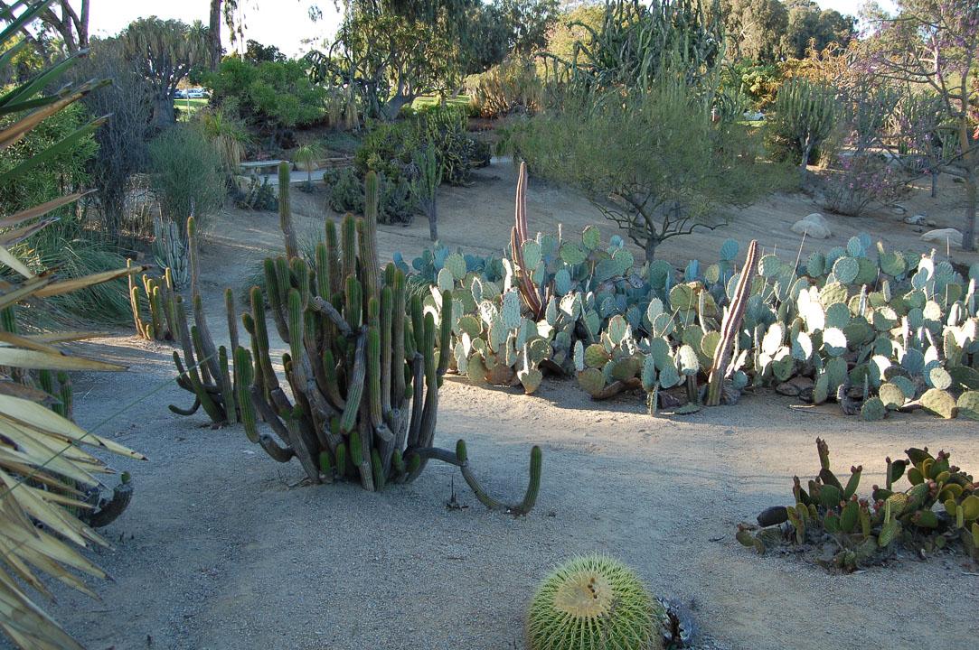 Багато кактусів