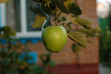 Яблуко