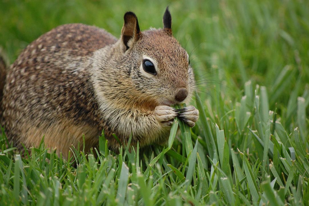 Білка жує траву