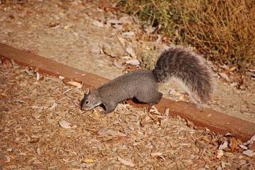 Atascadero Lake – Сіра білка