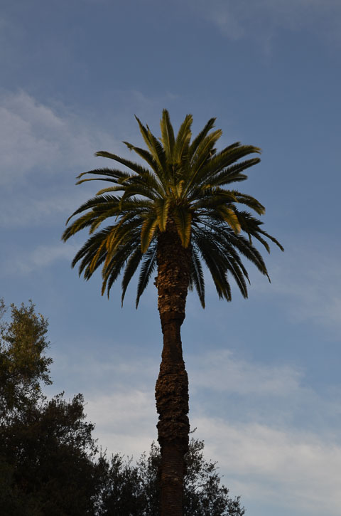 Пальма