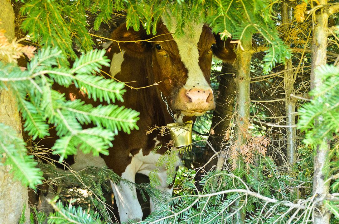 Корова сховалася