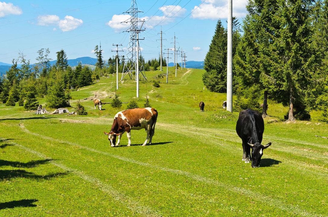 Корови пасуться