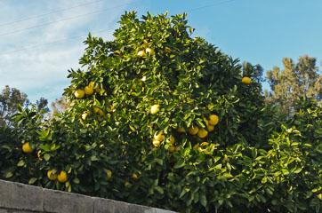Грейпфрути