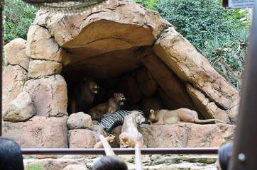 Леви охороняють сон зебрі