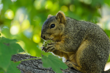 Mile Square Regional Park – Білка на дереві