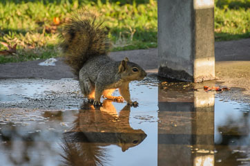 Mile Square Regional Park – Білка п'є воду