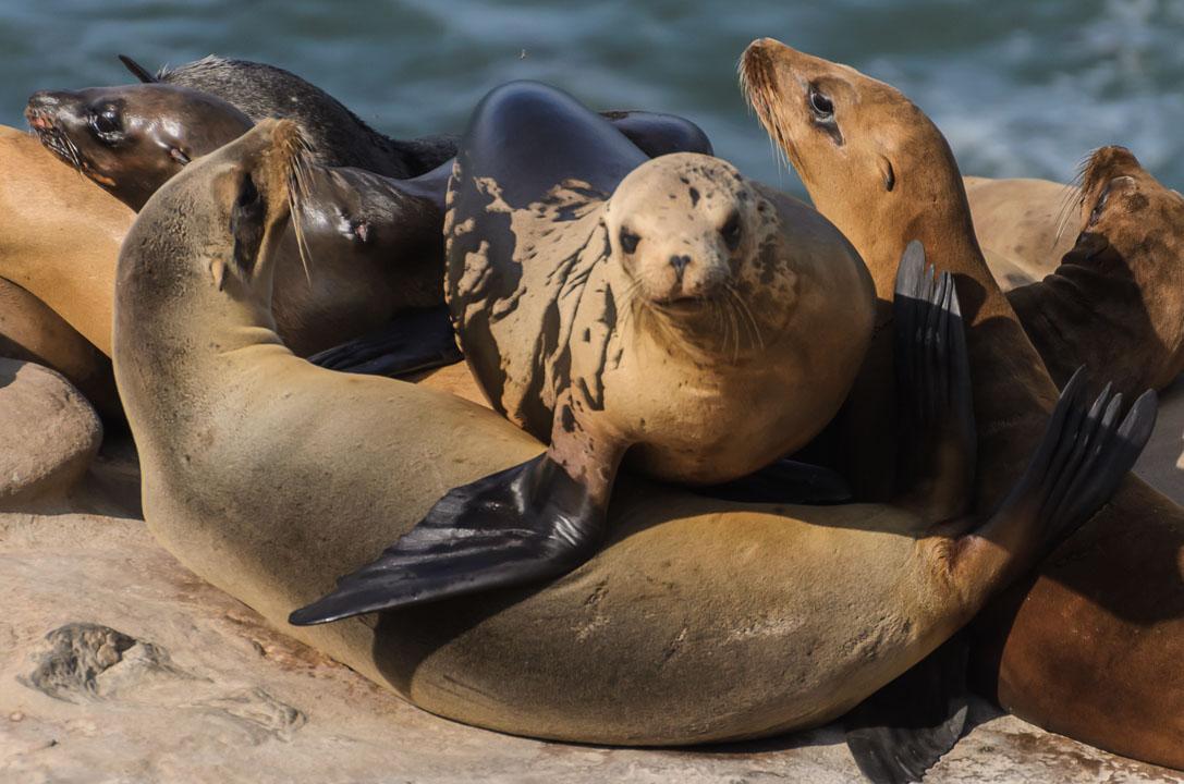 Тюлені