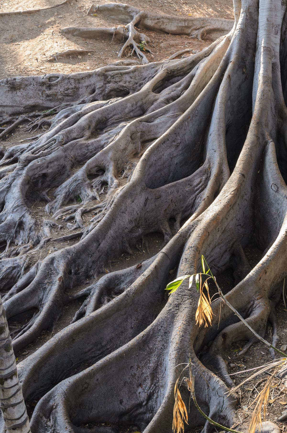 Коріння дерева