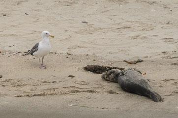Чайка та тюлень