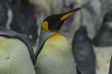 Пінгвін