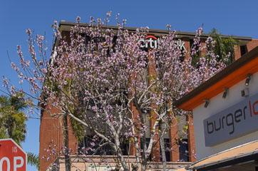 Дерево квітне