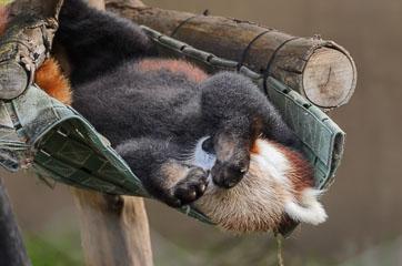 Руда панда
