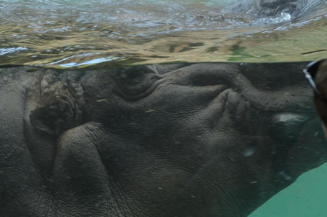 Гіпопотам