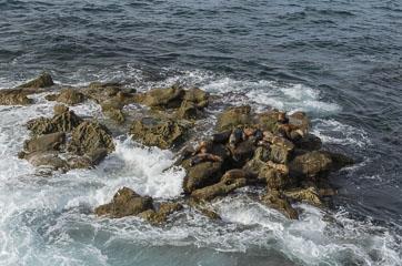 Морські котики