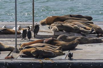 Морські котики та леви