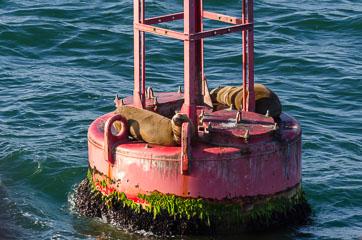 Морські леви
