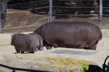 Гіпопотами