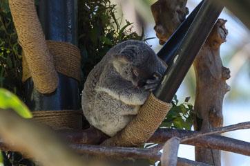 San Diego Zoo – Коала