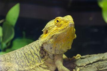 Ігуана