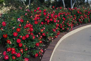 Троянди