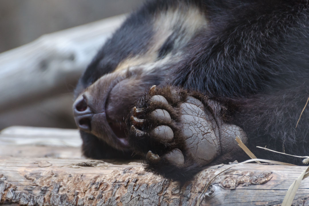 Лапа ведмедя