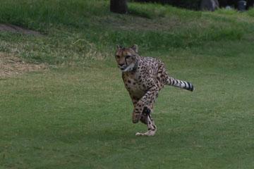 Гепард біжить